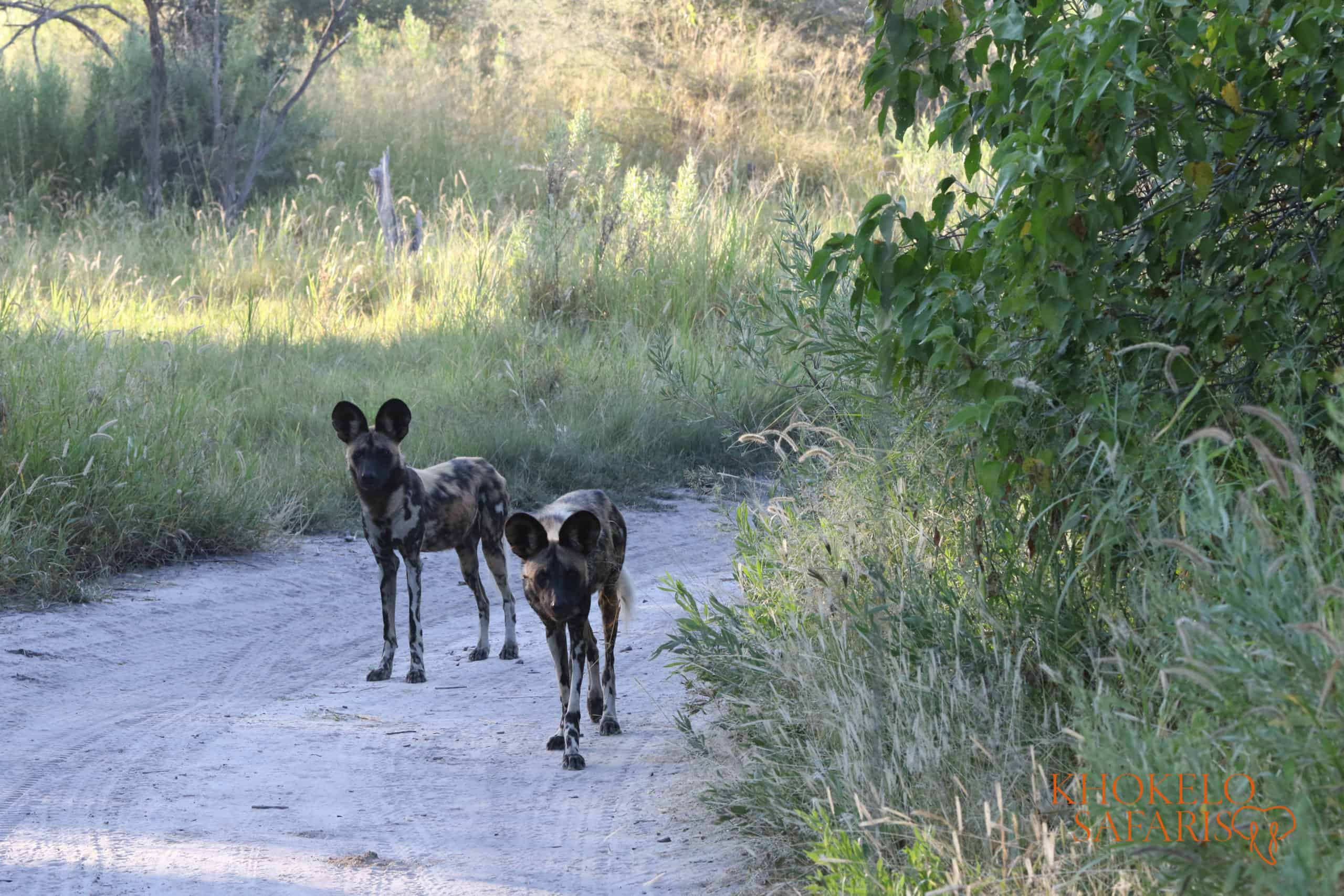 wild dogs in Okavango Delta