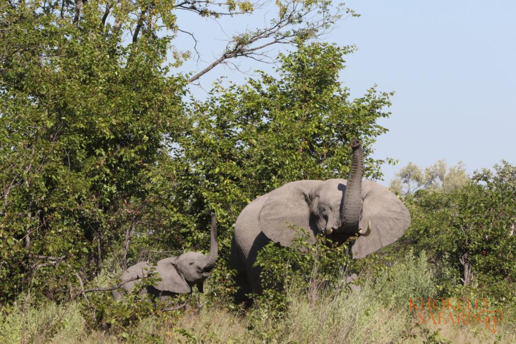 Olifanten nabij campsite