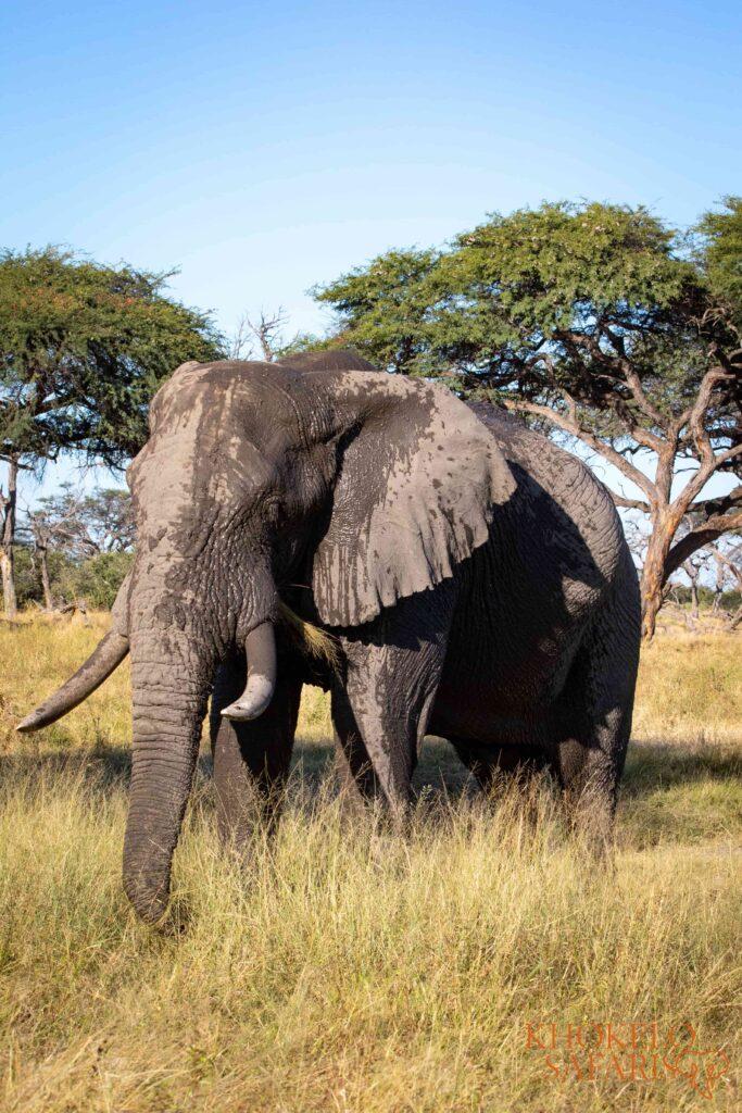 bull elephant in Khwai selfdrive Botswana