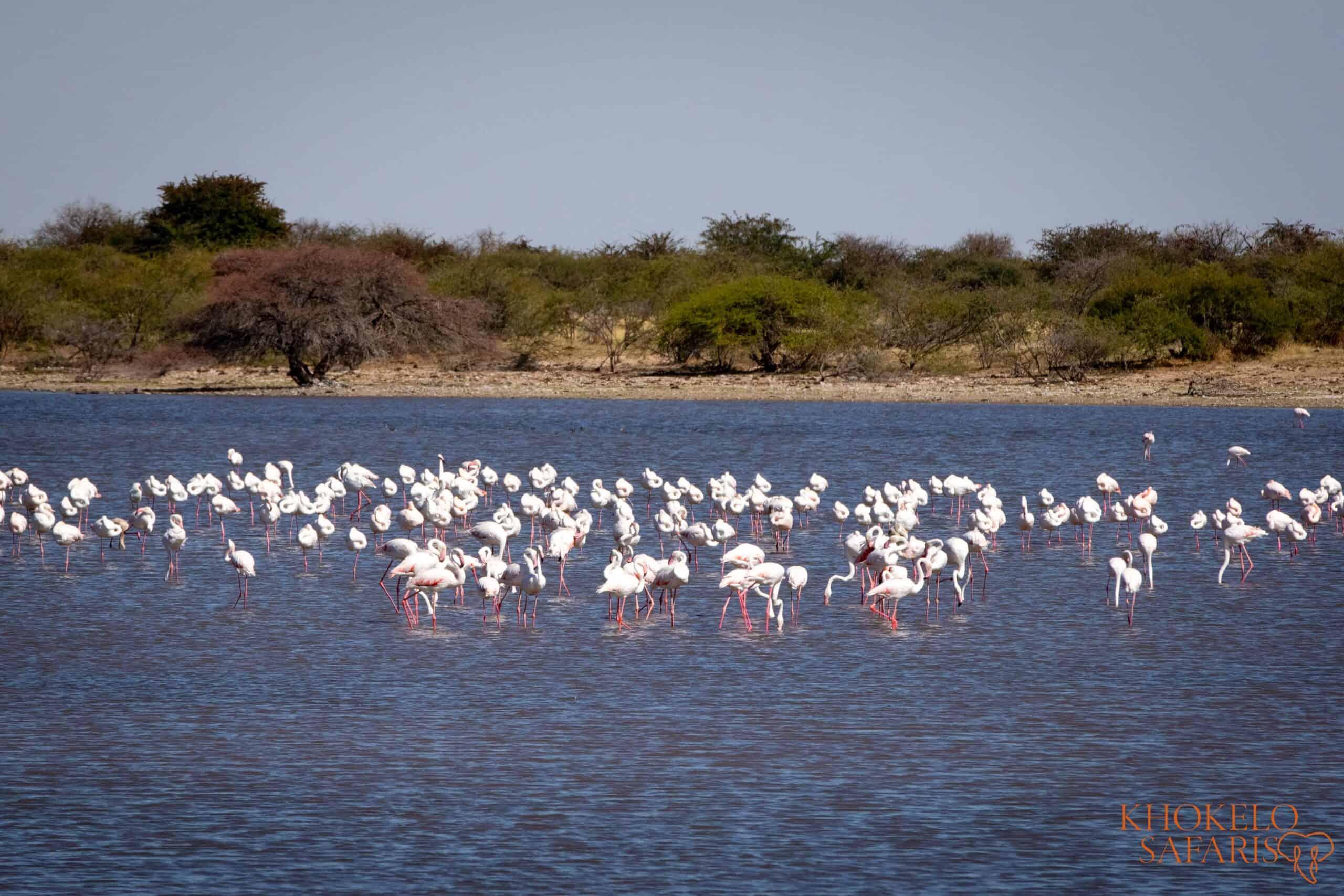flamingos in makgadikgadi selfdrive Botswana