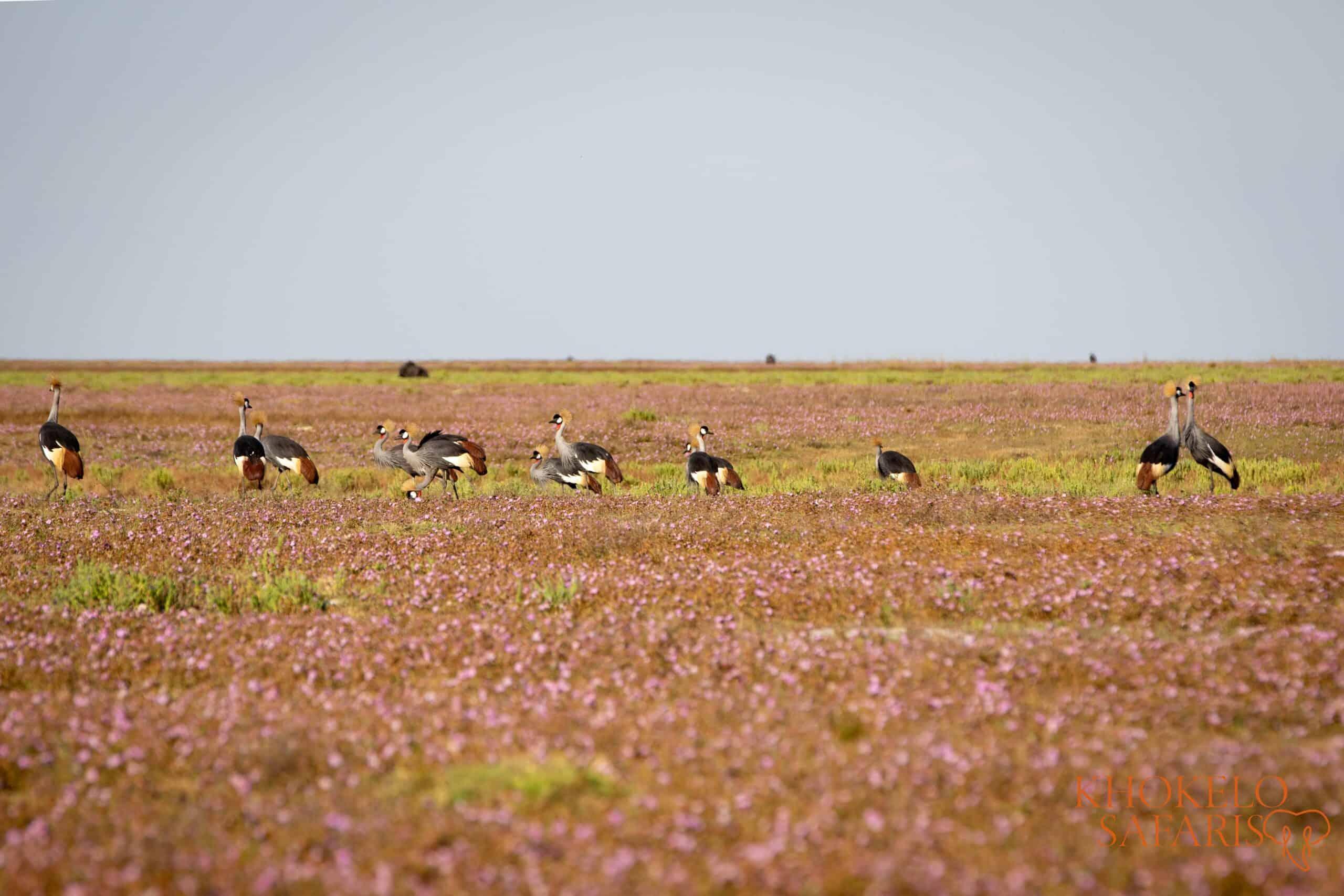 crested cranes in Liuwa Plain selfdrive Zambia