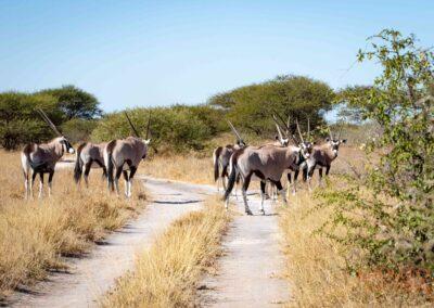 gemsbok on road in CKGR selfdrive Botswana