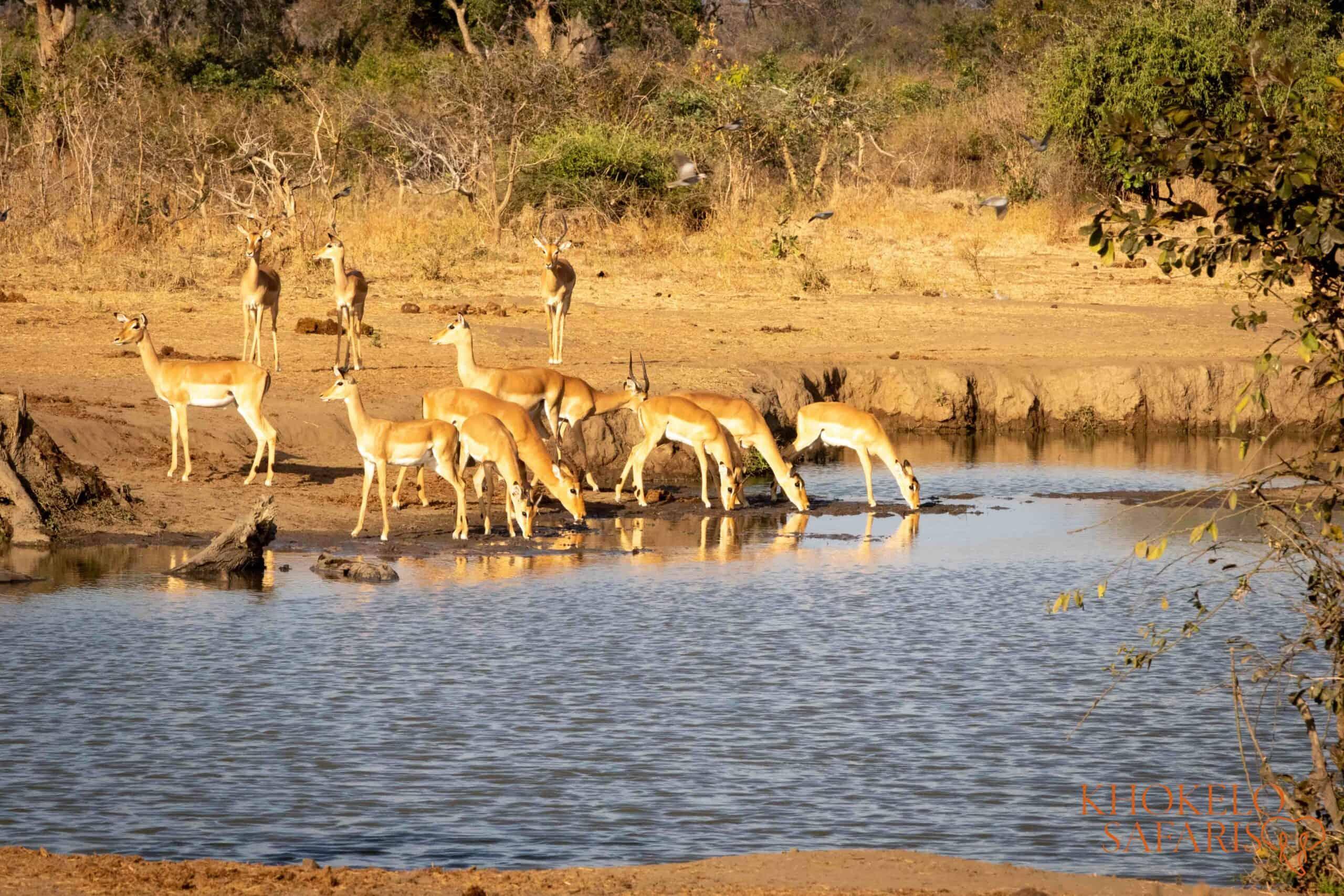 Impalas drinking from river selfdrive Zambia