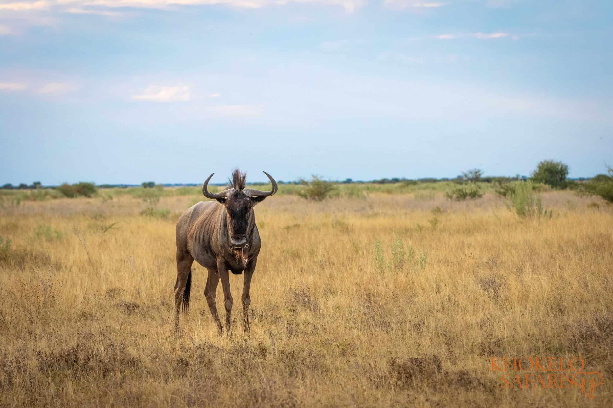 wildebeest in Liuwa Plain selfdrive Zambia